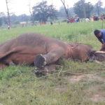 रायगढ़ : धरमजयगढ़ में करंट से नर हाथी की मौत, वन अमला मौके पर